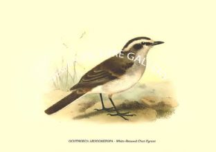 OCHTHOECA LEUCOMETOPA - White-Browed Chat-Tyrant